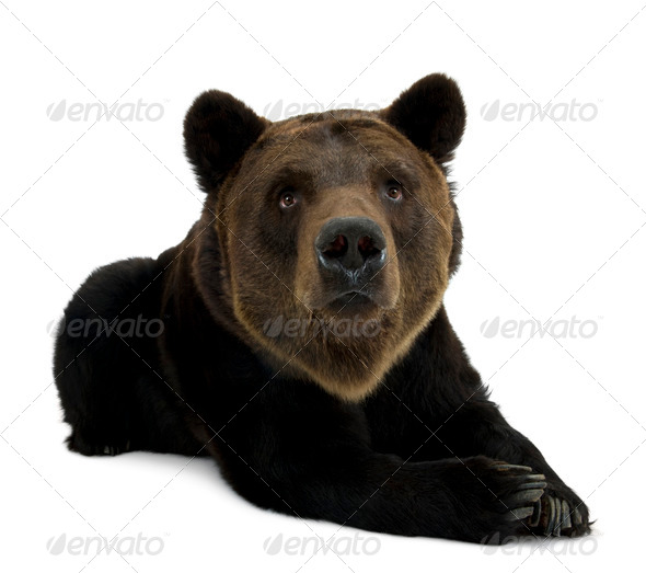 Siberian Brown Bear, 12 years old, lying against white background - Stock Photo - Images