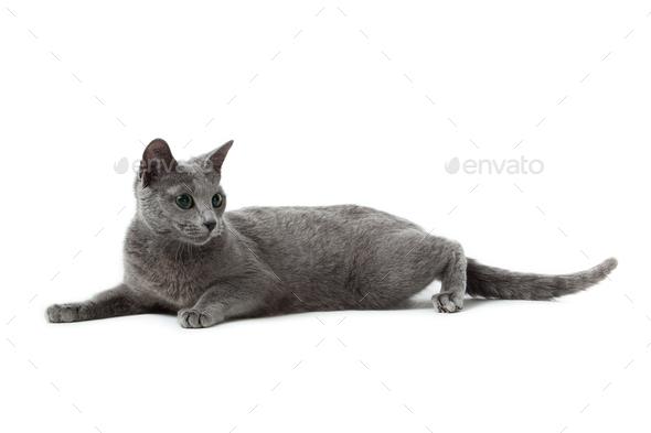 Russian Blue Cat On White Stock Photo By Ewastudio Photodune