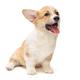 Smiling funny Pembroke Corgi puppy - PhotoDune Item for Sale