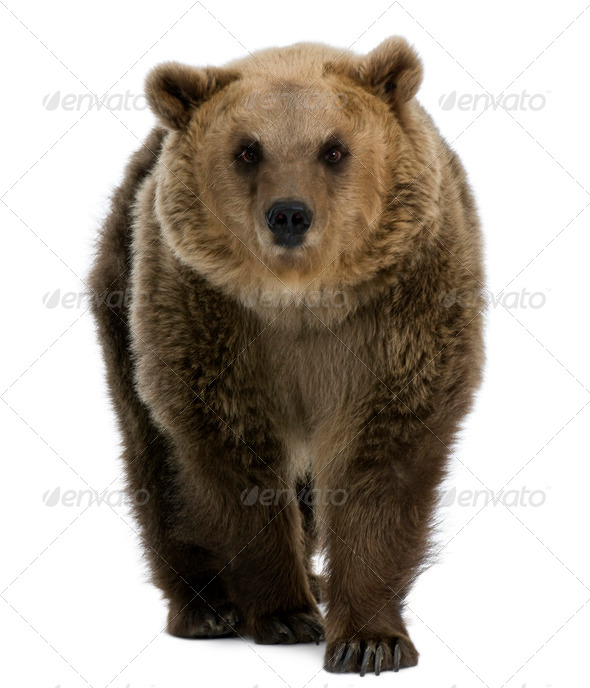 Female Brown Bear, 8 years old, walking against white background - Stock Photo - Images