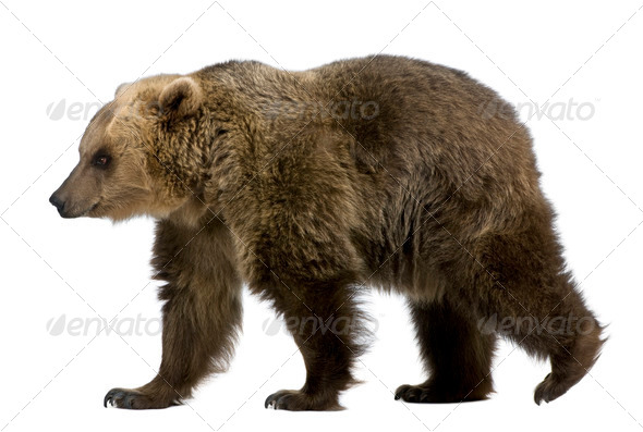 Brown Bear, 8 years old, walking in front of white background - Stock Photo - Images