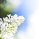 Blossoming common Syringa vulgaris lilacs bush white cultivar - PhotoDune Item for Sale