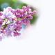 Macro view blossoming Syringa lilac bush. - PhotoDune Item for Sale