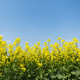 rapeseed flowers bloom and blue sky - PhotoDune Item for Sale