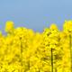 rapeseed flower bloom - PhotoDune Item for Sale