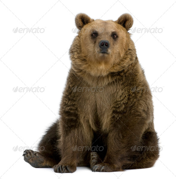 Brown Bear, 8 years old, sitting in front of white background - Stock Photo - Images