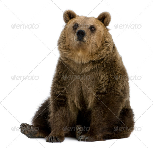 Female Brown Bear, 8 years old, sitting against white background - Stock Photo - Images