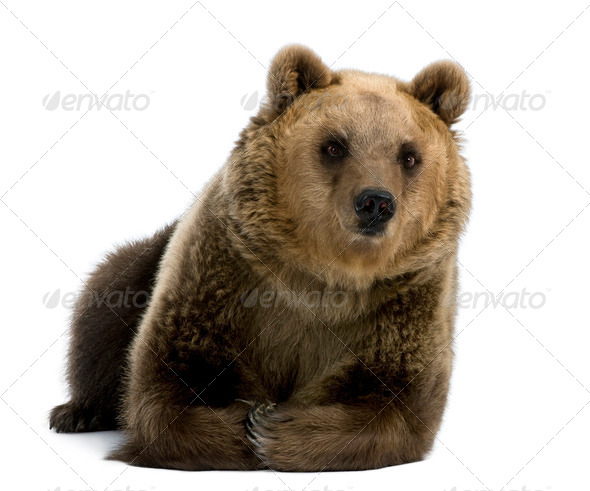Female Brown Bear, 8 years old, lying down against white background - Stock Photo - Images