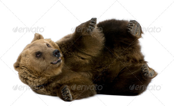 Brown Bear, 8 years old, lying in front of white background - Stock Photo - Images