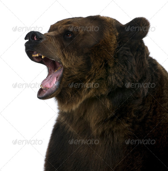 Grizzly bear, 10 years old, growling in front of white background - Stock Photo - Images