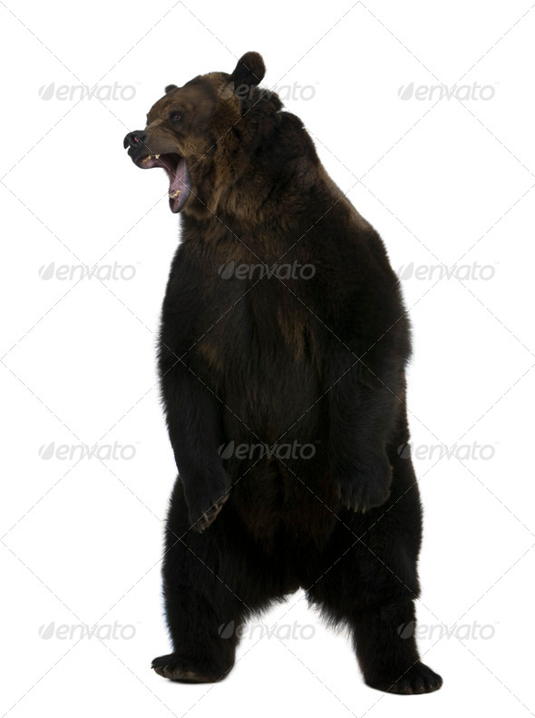 Grizzly bear, 10 years old, standing upright against white background - Stock Photo - Images