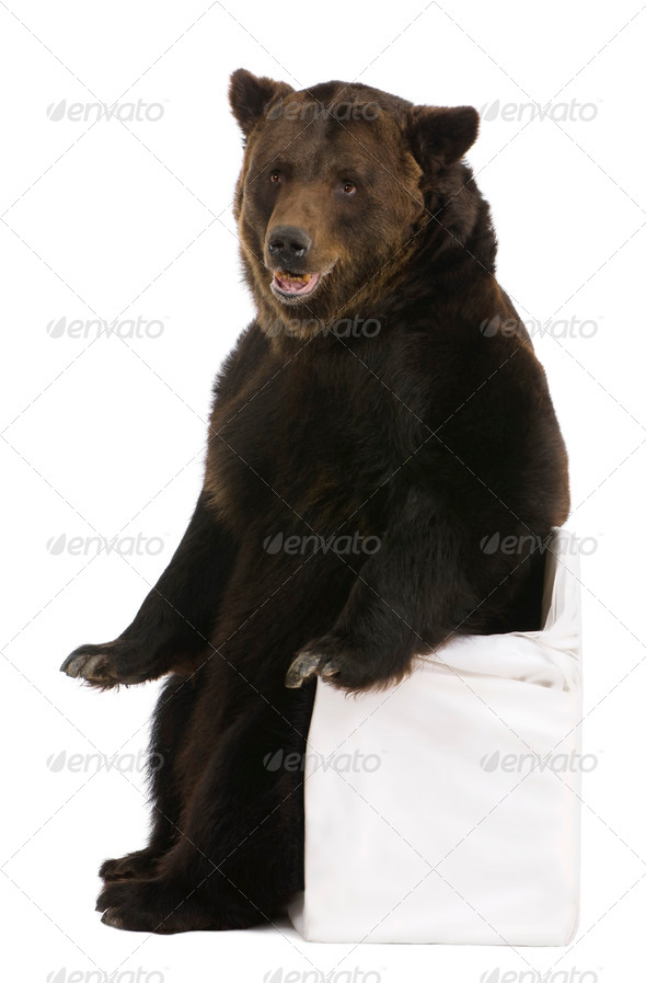 Female Brown Bear, 12 years old, sitting in front of white background - Stock Photo - Images