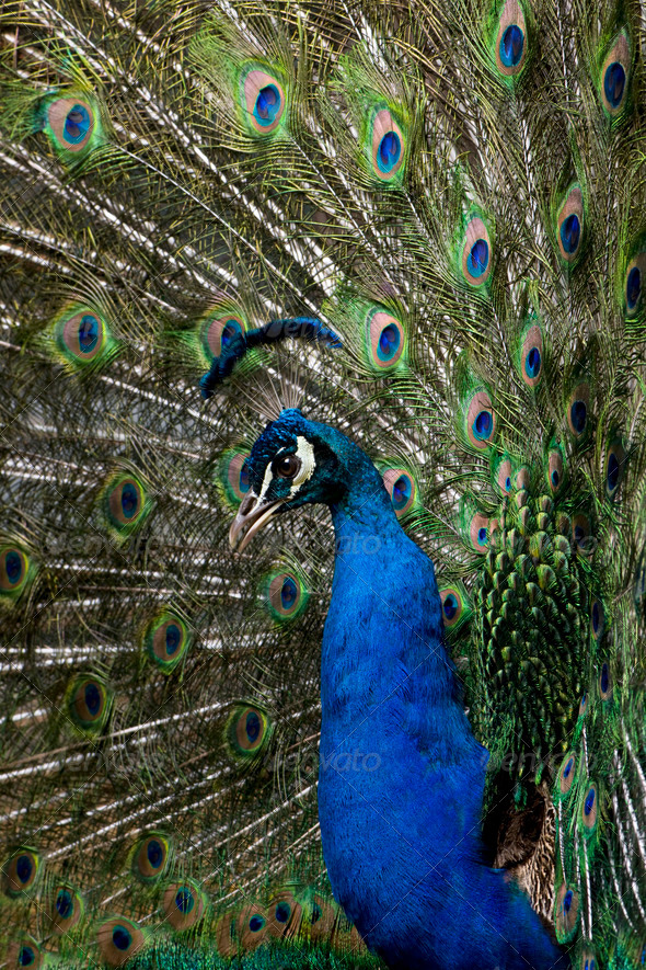 Close-up of Male Indian Peafowl displaying tail feathers - Stock Photo - Images