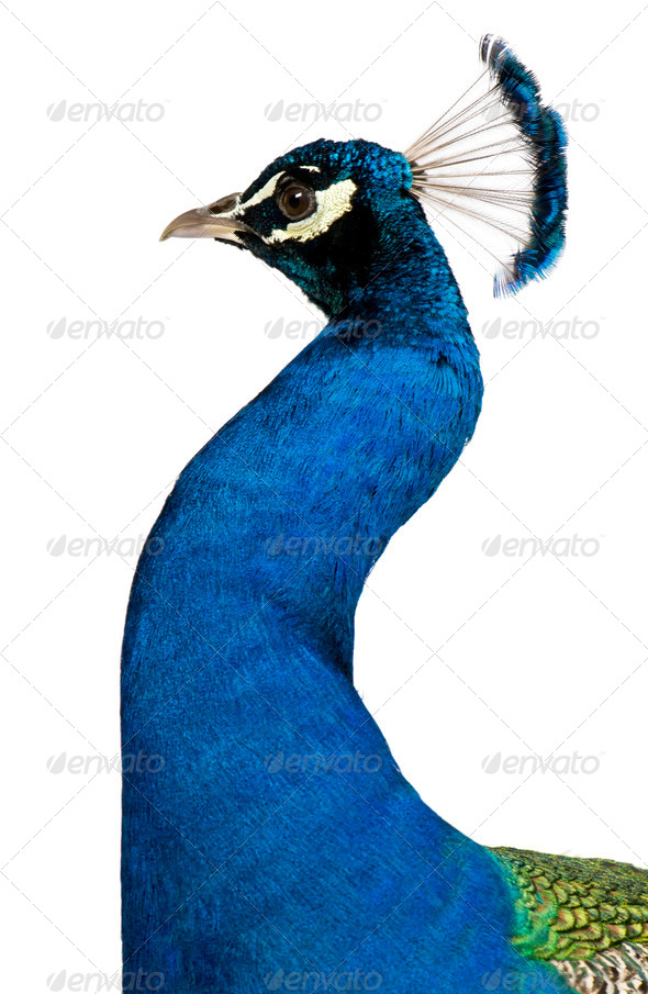 Peacock in front of white background - Stock Photo - Images