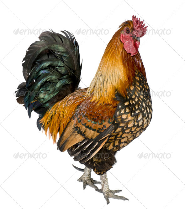 Gallic rooster, 5 years old, standing against white background - Stock Photo - Images