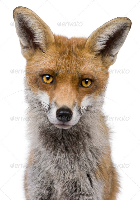 Close-up headshot of Red Fox, 1 year old, in front of white background - Stock Photo - Images