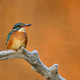 Common kingfisher - PhotoDune Item for Sale