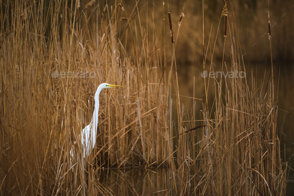 The great egret - Stock Photo - Images
