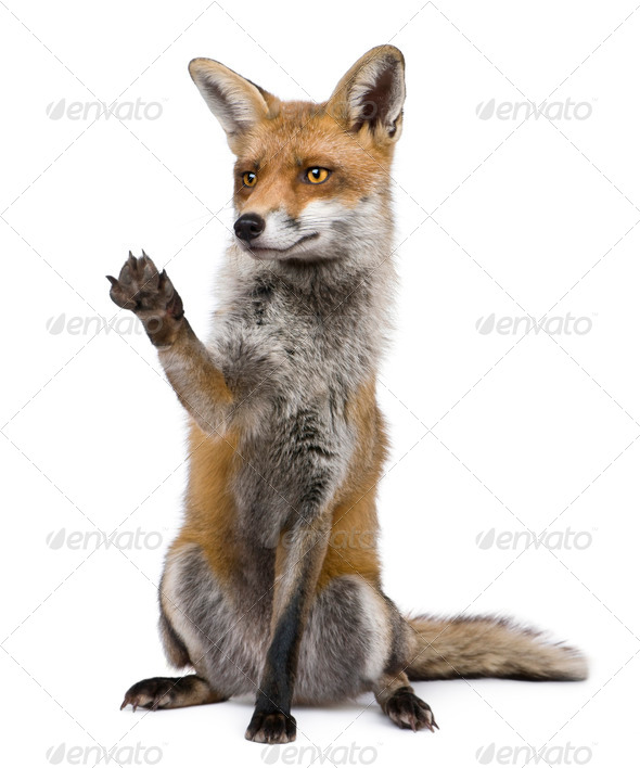 Red Fox, 1 year old, sitting with paw raised in front of white background - Stock Photo - Images