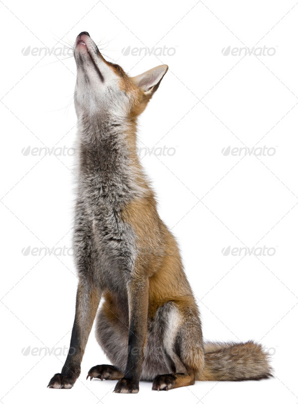 Red Fox, 1 year old, sitting looking up in front of white background - Stock Photo - Images