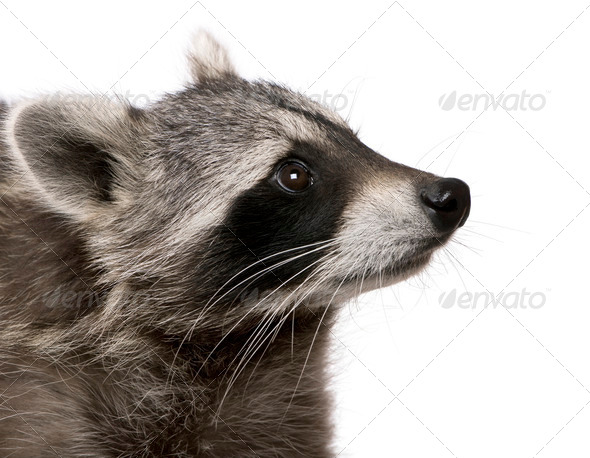 Raccoon in front of white background - Stock Photo - Images