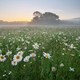 Daisy meadow on foggy morning. - PhotoDune Item for Sale
