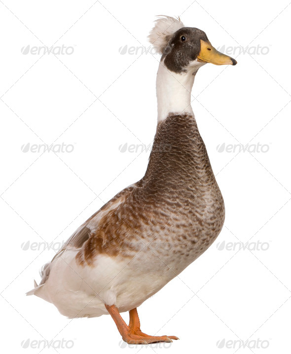 Male Crested Duck, 3 years old, standing in front of white background - Stock Photo - Images