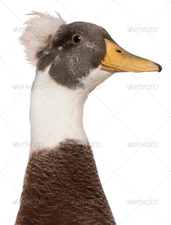 Close-up headshot of Male Crested Duck, 3 years old, standing in front of white background - Stock Photo - Images