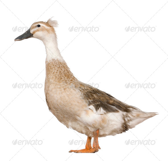 Female Crested Duck, 3 years old, standing in front of white background - Stock Photo - Images