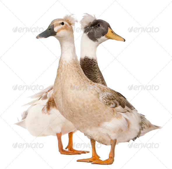 Male and Female Crested Duck, 3 years old, standing in front of white background - Stock Photo - Images