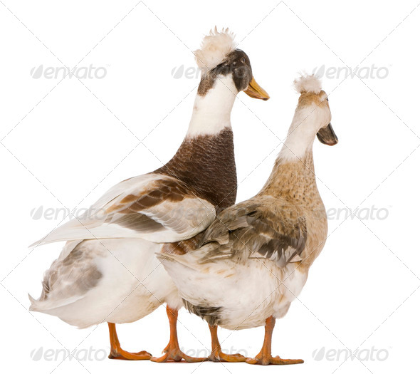 Two Canard hupp?© ou pompon, 3 years old, standing in front of white background - Stock Photo - Images
