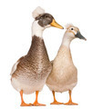 Male and female Crested Ducks, 3 years old, standing in front of white background