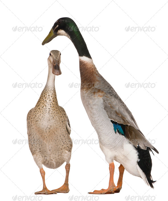Male and female Indian Runner Ducks, 3 years old, standing in front of white background - Stock Photo - Images