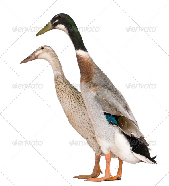 Male and female Indian Runner Duck, 3 years old, standing in front of white background - Stock Photo - Images