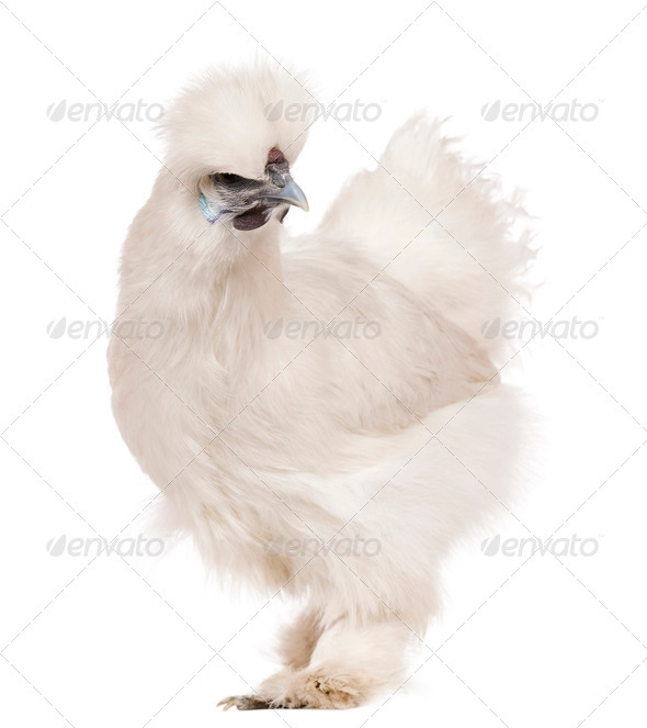 White Silkie chicken, 6 months old, standing in front of white background - Stock Photo - Images