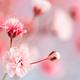 Pink gypsophila or baby's-breath flowers - PhotoDune Item for Sale