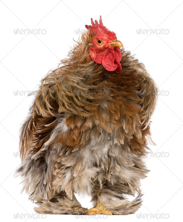 Curly feathered rooster Pekin, 1 years old, standing in front of white background - Stock Photo - Images