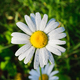 fresh white daisy with drops - PhotoDune Item for Sale