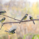 Several Great tit on branch on blurred background - PhotoDune Item for Sale