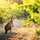 Vineyard Kangaroo - PhotoDune Item for Sale