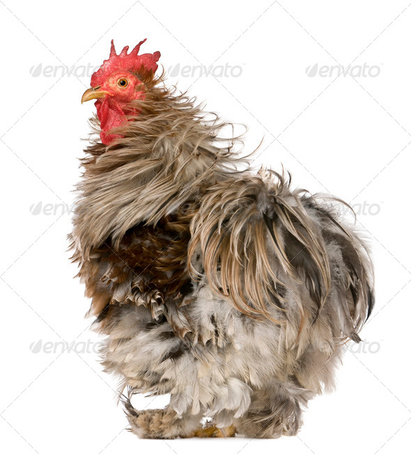 Curly Feathered Rooster Pekin, 1 year old, standing in front of white background - Stock Photo - Images
