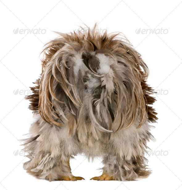 Rear view of Curly Feathered Rooster Pekin, 1 years old, standing against white background - Stock Photo - Images