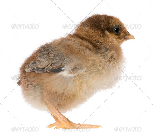 Chick, 4 days old, standing in front of white background - Stock Photo - Images