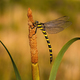 Golden ringed dragonfly resting on bulrush with copy space - PhotoDune Item for Sale