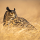 Adult eurasian eagle-owl looking aside with large orange eyes - PhotoDune Item for Sale