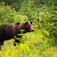 Dangerous male brown bear observing its territory on a blossoming meadow - PhotoDune Item for Sale