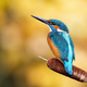 Interested common kingfisher perched in nature from back view - PhotoDune Item for Sale