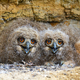 Cute eurasian eagle-owl younglings hiding under rocks of cliff and facing camera - PhotoDune Item for Sale