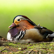 Elegant male mandarin duck sitting on the ground in summer from low angle view - PhotoDune Item for Sale