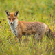 Angry red fox facing camera on a green meadow in summer - PhotoDune Item for Sale